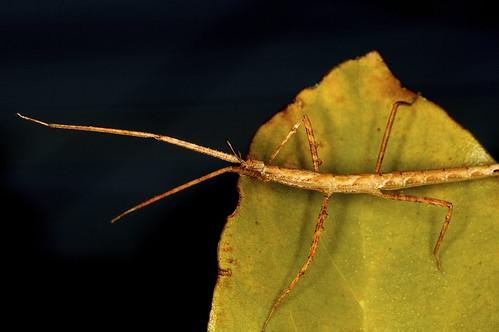 Individual Stick Bug Study