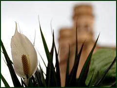 CALA (ABUELA PINOCHO ) Tags: españa dof flor catedral iglesia colores gotas blanca cala rocio castellon cruzadas flickrsbest macromania ltytr1 extraordinarycompositions a3b a3bconstructive atravesdetumirada flickrbestpics passionparlart