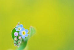 Tender Loving Care (*Sakura*) Tags: blue flower macro green yellow japan tokyo spring explore sakura bud      cucumberherb