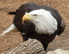 Bald Eagle - Tulsa Zoo