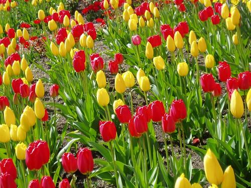 Field Tulips