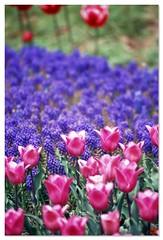 Tulip 080424 #06