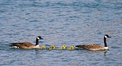 Canada Geese & Goslings (Marc Arnault) Tags: baby canada calgary bird water yellow digital canon rebel geese goose gosling f56 sanctuary canadagoose inglewood 400mm xti