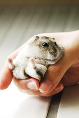 Is the lunch ready? (EricFlickr) Tags: pet pets cute animal animals taiwan hamster hammy