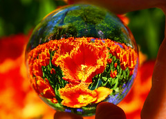 Take a closer look inside. (kees straver (will be back online soon friends)) Tags: pink flowers blue light red orange flower holland macro reflection green nature glass amsterdam yellow ball garden spring tulips upsidedown crystal fortune sphere tulip refraction keukenhof crystalball flickrsbest abigfave diamondclassphotographer keesstraver crystalballproject