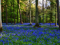 The incredible blue of twilight. (algo) Tags: uk blue trees light england sunlight green bluebells forest woodland photography woods topf50 topv333 bravo europe searchthebest branches topv1111 topv999 algo topf100 100f naturesfinest blueribbonwinner wendoverwoods chilternforest 50f flickrsbest mywinners abigfave anawesomeshot impressedbeauty goldenphotographer 200850plusfaves brillianteyejewel 090508