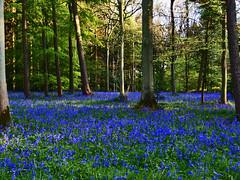 The incredible blue of twilight. (algo) Tags: uk blue trees light england sunlight green bluebells forest woodland photography woods topf50 topv333 bravo europe searchthebest branches topv1111 topv999 algo topf100 100f naturesfinest blueribbonwinner wendoverwoods chilternforest 50f flickrsbest mywinners abigfave anawesomeshot impressedbeauty goldenphotographer 200850plusfaves brillianteyejewel 090508