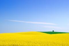 Summer. (Michael.P.Riis) Tags: blue sky plant tree green brasil photoshop denmark nikon sweden rape yello jutland jylland 18200vr rapefields abigfave manvswild nikond40x d40x