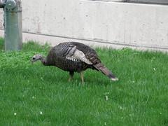 080516 turkey-1 (Dan4th) Tags: cambridge wild urban birds animals campus ma technology mit massachusetts institute turkeys 02139 massachusettsinstituteoftechnology