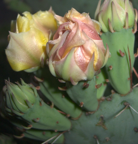 Prickly Pear in Bloom, Another View