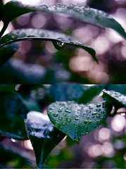 """WHY did i have to pass out!?"" (l'alouette) Tags: pink leaves rain evening drops diptych shiny bokeh sprinkler raindrops"