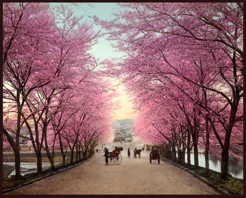 THE CHERRY BLOSSOM ROAD INTO OLD AKASAKA -- A Fine Spring Day in Old Tokyo, Japan
