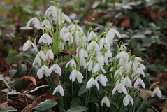 Snowdrops Cudham Churchyard Kent (Adam Swaine) Tags: snowdrops flora flowers wildflowers petals naturelovers nature england english kent counties countryside canon uk ukcounties swaine britain british kentweald churchyard