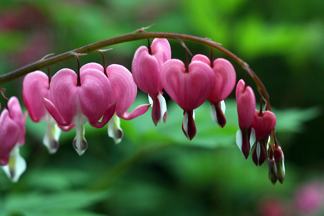 Day 266 - Bleeding Hearts