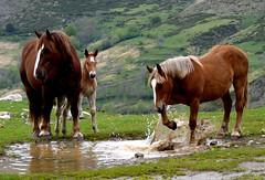 No salpiques (Enrique Flores 71) Tags: caballo caballos agua catalunya catalua lleidalerida bolltaull