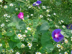 Morning Glory with Daisies