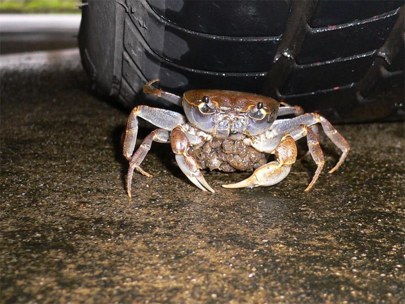MCU-Crab-20071009-1