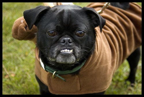 Resultado de imagen para Showing its Teeth pug