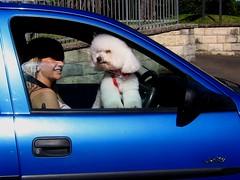 Why did we stop (betta design) Tags: blue dog white co beautiful car branco azul canon lights traffic sydney australia cachorro poodle blonde semaforo carro canino driver fifi loira motorista