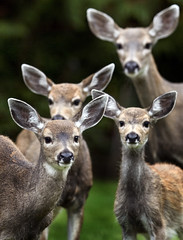Deer Family Portrait (DARREN ST0NE) Tags: family portrait canada bravo bc columbia victoria deer british naturesfinest darrenstone lightgazer goldenphotographer