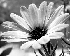 Fragile (NeN22) Tags: bw flower macro nature photography bn passion fragile goccia aplusphoto diamondclassphotographer flickrdiamond macromix platinumheartaward bwartaward