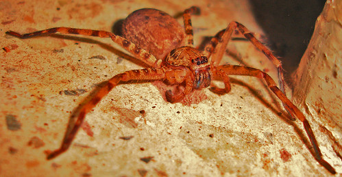 'Six' legged spider