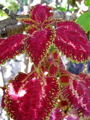 Coleus 'Watermelon'