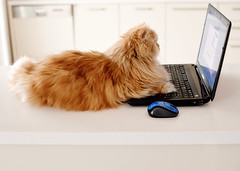 Garfi-Working (E.L.A) Tags: family portrait orange pet pets cute nature animal horizontal closeup cat turkey computer fur photography persian orangecat kitten feline europe day sitting technology open looking laptop watching internet humor working kittens nobody nopeople istanbul communication indoors kitties wirelesstechnology relaxation ideas domesticanimals garfield curiosity domesticcat gettyimages computermonitor persiancat computermouse garfi oneanimal colorimage homeinterior surfingthenet animalthemes pamperedpets focusonforeground bestcatphotos differentcatbreeds