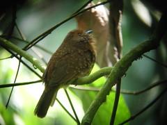 White-whiskered Puffbird (mlretter) Tags: yucatan yuc nwecuador