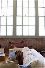 buddy loft chillin (noahstone) Tags: dog loft losangeles vizsla buddy ridgeback rhodesian