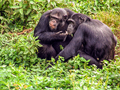 Chimpanzees at Ngamba Island