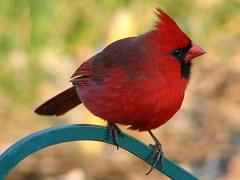 Cardinal 057 (refmo) Tags: red bird cardinal topc50 soe naturesfinest blueribbonwinner avianexcellence diamondclassphotographer refmo