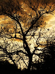 Against The Night (priscilla.starling) Tags: blue light sky orange color tree home nature leaves silhouette yellow night clouds evening colorful bright photos limbs doves birda priscillastarling