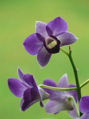 Schau mir in die Augen! (dolorix) Tags: plant orchid flower nature natur pflanze dendrobium orchidee blume dendrobiumphalaenopsis diamondclassphotographer flowerwatcher excapturemacro photosexplore treeofhonor