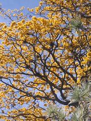 yellow tree (IDIAY) Tags: animals farm finca thebestyellow