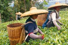 Tea Pickers, Cisarua Bogor (DMahendra) Tags: woman film canon eos women kodak hats bamboo ef28135mm ef journalism cisarua bogor eos1n teaplantation humaninterest pickers puncak kodakelitechrome100 ebx