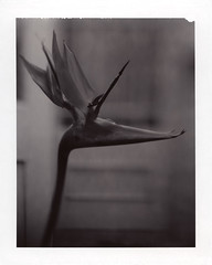Strelitzia reginea (cyan blue) Tags: polaroid outside birdofparadise 4x5 largeformat cyanblue polaroidtype54 20072008matdenney linhofkardancolor45 schneidersymmar15056