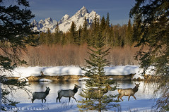 A Morning Stroll (James Neeley) Tags: winter mountains animals landscape wildlife snakeriver elk tetons grandteton grandtetonnationalpark flickr5 moranjunction aplusphoto jamesneeley