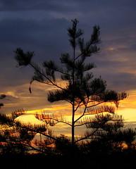 Pond Cypress in the sunset (Anita363) Tags: sunset sky tree silhouette flora florida unescoworldheritagesite everglades cypress fl evergladesnationalpark cupressaceae conifer taxodium taxodiumdistichum taxodiumascendens pondcypress pahayokee pahayokeeoverlook taxodiumdistichumvarimbricarium