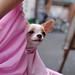 チワワ:Chihuahua_31