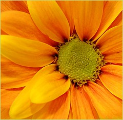 a daisy (ana_lee_smith) Tags: offered firstquality supershot superbmasterpiece adaisy andwiththanks ingreeting