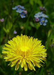 i was gonna mow the grass today.... (madd-matt) Tags: blue canada flower macro green yellow spring focus novascotia dof dandelion forgetmenot tallgrass tinyflower flowerpetal allrightsreserved maddmatt godilovetinyflowers