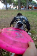 ¡Es mío! (Reina Cañí) Tags: dog play perro link bite frisbee jugar strength bordercollie foreground pullout primerplano fuerza morder eos450d estirar graodecastellón aiscube tamron18270 reinacañí