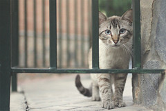 #150 kitty & fence [30/05/11] (Carmen Gea) Tags: cat 50mm bokeh kitty project365 proyecto365 reto365 nashkita 2011yip carmensnchezgea