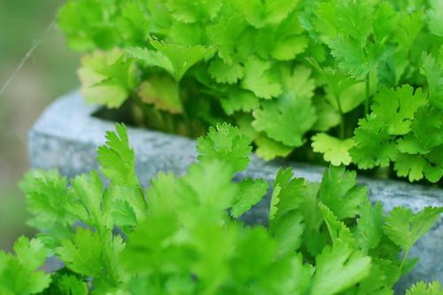 groensel6