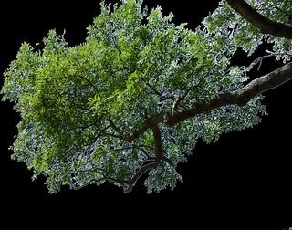 Tree Branch  Snip