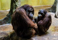 """Am I interrupting something?"" (TigerPal) Tags: zoo nikon secret korea korean seoul orangutan ape everland d700"