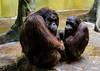 """Am I interrupting something?"" (TigerPal) Tags: zoo nikon secret korea korean seoul orangutan ape everland d700"