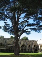 Cedar of Lebanon, Salisbury Cathedral