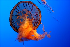 Open (AceFrenzy) Tags: travel blue orange usa color slr water contrast digital canon geotagged rebel aquarium jellyfish honeymoon married tennessee ripleys roadtrip gatlinburg dslr canonrebelxt tentacles top20fish ripleysbelieveitornotaquarium
